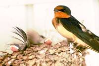 barn swallow and 5 new babies