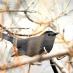 """catbird by vivian park"" by houstonryan"