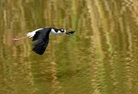 Black necked stilt in flight brmbr cropped