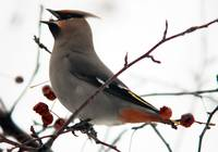cedar waxwing swallows a berry