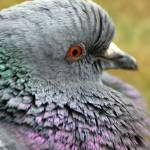 """Rock pigeon fluffy neck"" by houstonryan"