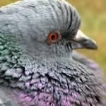 """Rock pigeon fluffy neck"" by houstonryan"