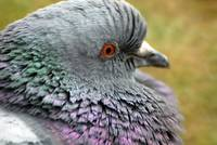 Rock pigeon fluffy neck