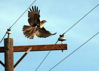 red tailed hawk takes flight off pole by aurora ut
