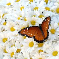 Viceroy on Daisies