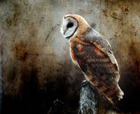 barn owl and cool texture