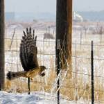 """Northern harrier through windshield after dived to"" by houstonryan"