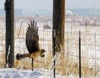 Northern harrier through windshield after dived to