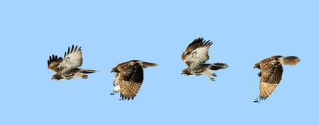 red tailed hawk composite near Palmyra Utah
