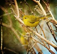 YEllow warbler juvie vivian park 10 texture