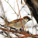 """house sparrow in a bush crop"" by houstonryan"