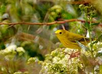 Yellow warbler on russian olive