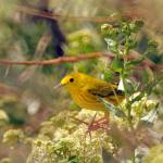 """""""yellow warbler on a tree russian olive"""" by houstonryan"""