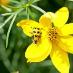 """Beetle on Coreopsis"" by eyedocal"