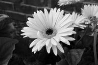 Colorless Daisy