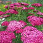 """Pink Yarrow"" by Mistilyn"