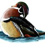 """Wood Duck"" by inkart"