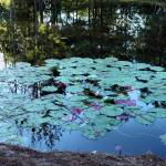 """Lilypad Pond"" by constellationphotography"