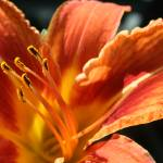 """Day Lily"" by CarmenL"