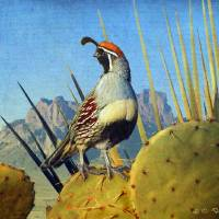 """sunset on the desert / gambels quail"" by rchristophervest"
