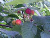 More Berries