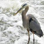 """""""Stepping Out - Heron"""" by Kucci"""