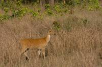Barasingha in the meadows