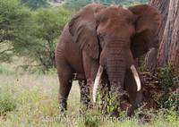 Wild African elephant - Tusker
