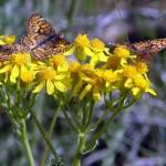"""Butterflies Enjoy Golden Blooms"" by maj"