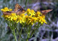 Butterflies Enjoy Golden Blooms
