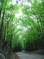 Manmade Forest, Bohol, Philippines
