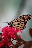 Monarch on Crepe Myrtle