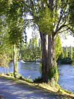 The trees on Fremont Canal