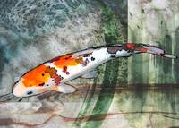 Sanke Koi on Green Watercolored Background