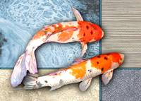 Pair of Sanke Koi on Multi Textured Background