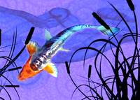 Shusui Koi in Swirling Water and Cattail Shadows