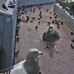 """""""Killer Pidgeons"""" by DucklingDoodle"""