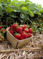 Strawberries in Field