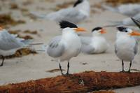 Royal tern on a log