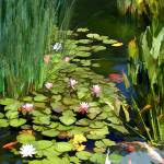 """Koi Pond and Water Lilies"" by ElainePlesser"