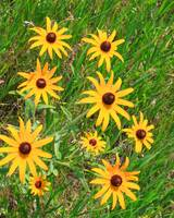 Black-eyed susans by the roadside