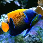 """Angelfish"" by Marilyn"