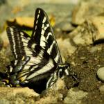 """Pale Swallowtail closeup"" by jasonspictures"