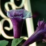 """""""Datura Coming and Going"""" by kcam"""