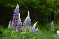 Lupines (IMG_0335) by Jeff VanDyke