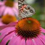"""Painted Lady on Cone Flower"" by colgdrew"