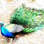 """Peacock"" by ecnchantedart"