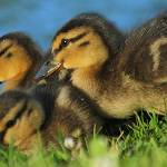 """Mallard Ducklings"" by shelshots"