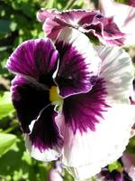 Traditional Pansy