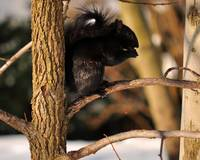 Black Squirrel in the Snow